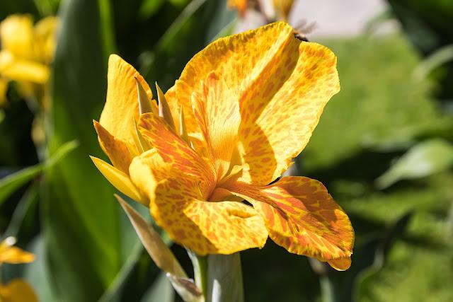 yelow canna flower image