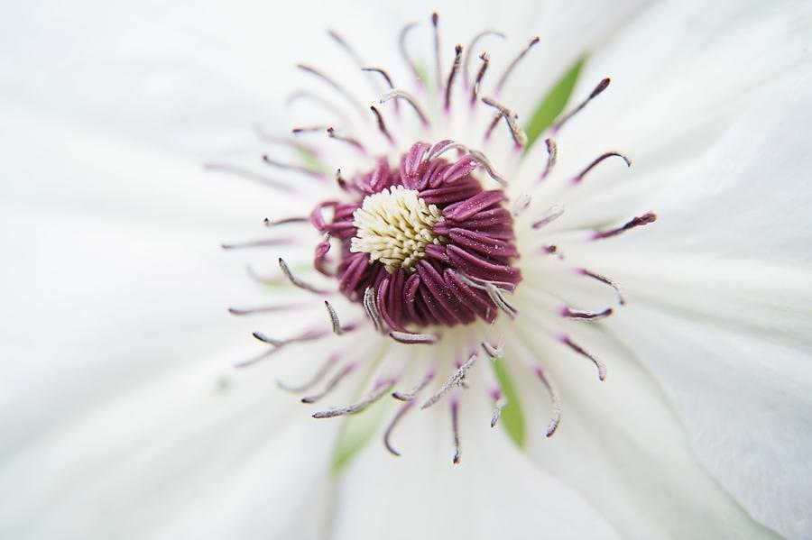 Blog + Fotografie by it's me! - Waldrebe Clematis - Blütenstaub auf dem Stempel