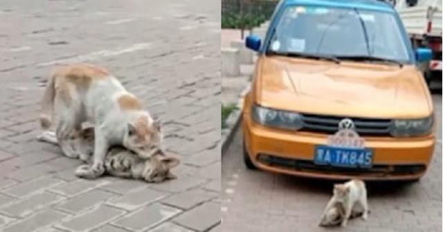 В Китае кот отказался оставлять мертвого друга на дороге