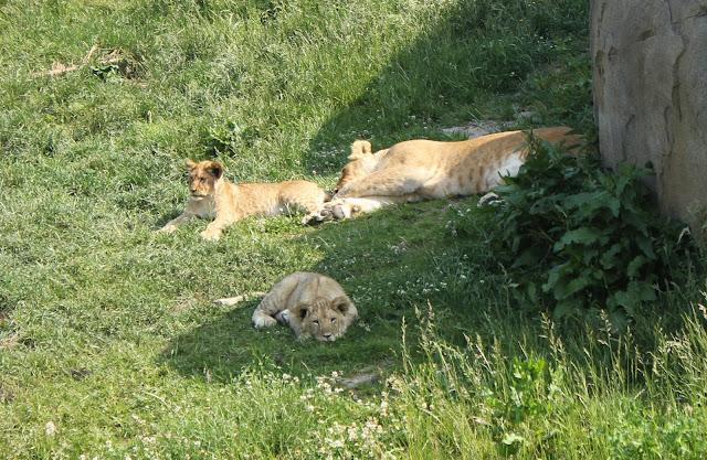 IMG 3844 - Wildlands Adventure Zoo Emmen