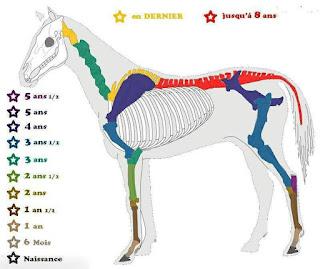 Schéma de la maturité des os du cheval selon l'âge.