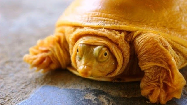Tartaruga albina amarela