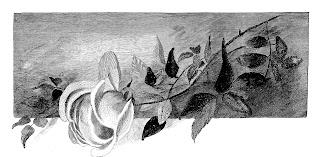 rose flower image transfer illustration drawing pencil artwork