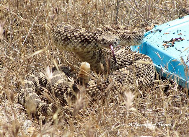 Image result for rattlesnake