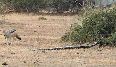 Musang pergi dengn ular piton yang mati