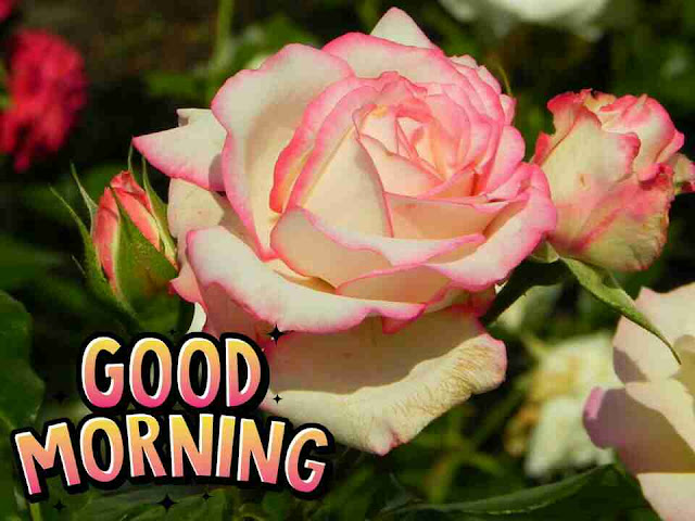 love good morning with pink rose flower