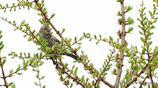 juvenile White-winged Crossbill in Newfoundland