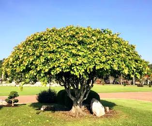 Seeing peepal tree in dream