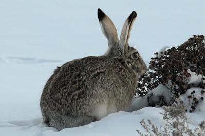jackrabbit in winter
