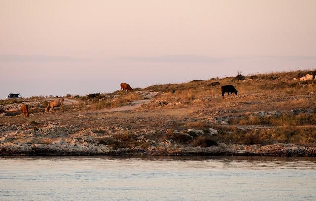 le mucche al pascolo sulla spiaggia di Brucoli ©ValeriaDeRiso
