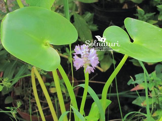 Camalote Pontederia rotundifolia