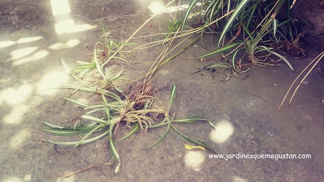 Estolones e hijuelos
