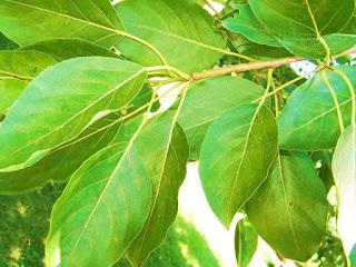 balsam-poplar-tree