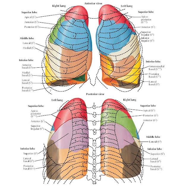 Bronchopulmonary Segments Anatomy  Superior lobe, Apical (S1), Anterior (S3), Posterior (S2), Middle lobe, Lateral (S4), Medial (S5), Inferior lobe, Anterior basal (S8), Medial basal (S7), Lateral basal (S9), Posterior basal (S10), Superior lobe, Apicoposterior (S1+2), Anterior (S3), Superior lingular (S4), Inferior lingular (S5), Inferior lobe, Anteromedial basal (S7+8), Posterior basal (S10), Lateral basal (S9), Superior lobe, Apical (S1), Posterior (S2), Anterior (S3), Middle lobe, Lateral (S4), Inferior lobe, Superior (S6), Lateral basal (S9), Posterior basal (S10), Inferior lobe, Superior (S6), Lateral basal (S9), Posterior basal (S10), Superior lobe, Apicoposterior (S1+2), Anterior (S3), Superior lingular (S4) Anterior view.