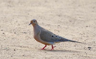 Photo of Mourning Dove walking on ground