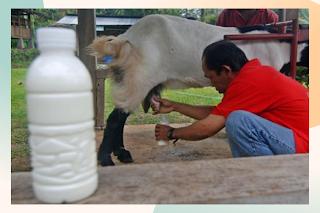 Susu-kambing-etawa-yang-sedang-diperah