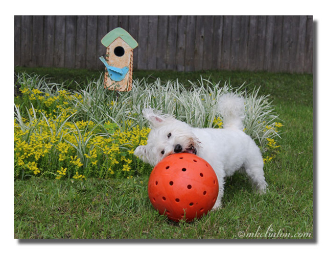 Westie playing with big orange ball in colorful backyard