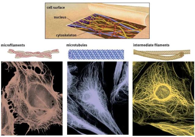 Gambar 4. Elemen Sitoskeletal, Bentuk bulat di dekat pusat di masing-masing foto ini adalah nukleus.