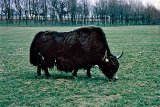 yak facts in hindi