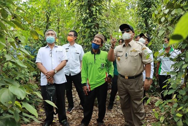 Kembalikan Kejayaan Lada Lampung, Gubernur Tinjau Kebun Lada Di Marga Tiga Lampung Timur