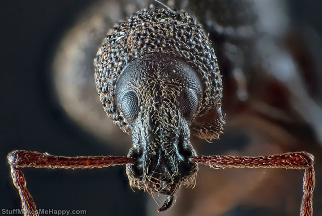 Another weevil beetle