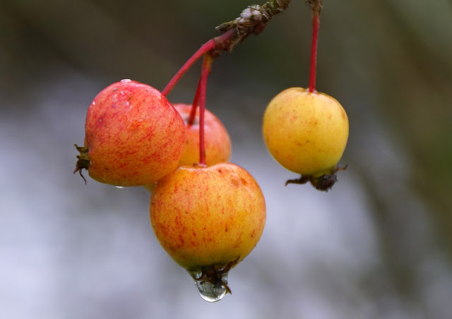 Crab apples at the nursery