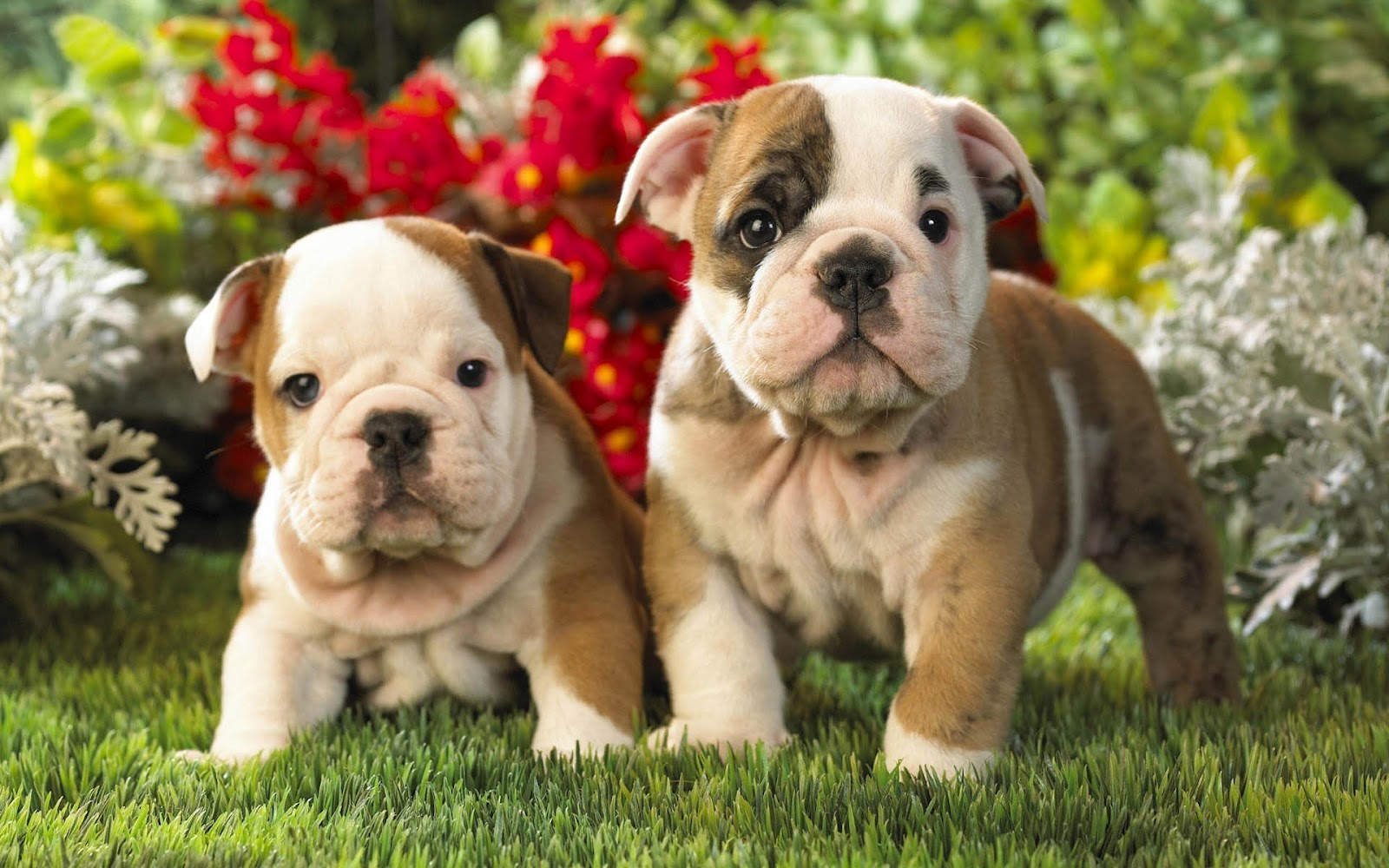 free english bulldog puppies dog wallpaper with bulldog puppies 7623