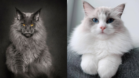 Top 10 Most Beautiful Cat Breeds In 2020