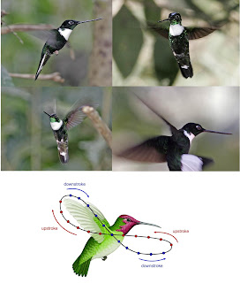 Position of wings of hummingbirds in a stroke