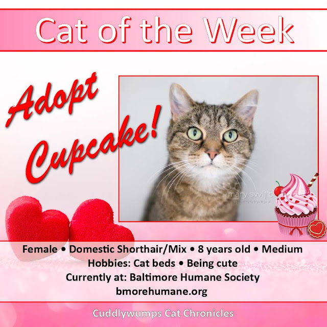 Cat of the Week: Cupcake, Baltimore Humane Society