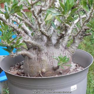 พาชีโพเดียม ซอนเดอร์สิอาย Pachypodium saundersii
