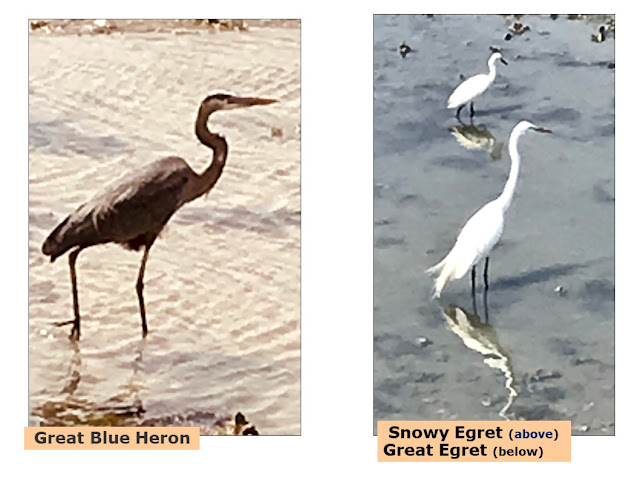 great blue heron; snowyegret;; great egret; Mt. Pleasant; South Caro.ina