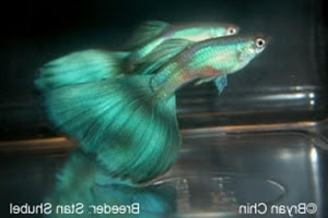 Guppy Hijau (Green Guppy)