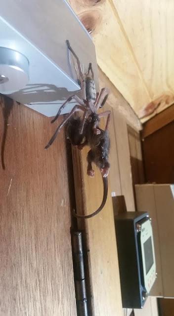 عنكبوت ضخمة,عنكبوت ضخم استراليا,عنكبوت ضخم يفترس,عنكبوت,العنكبوت يهاجم,عنكبوت يلتهم