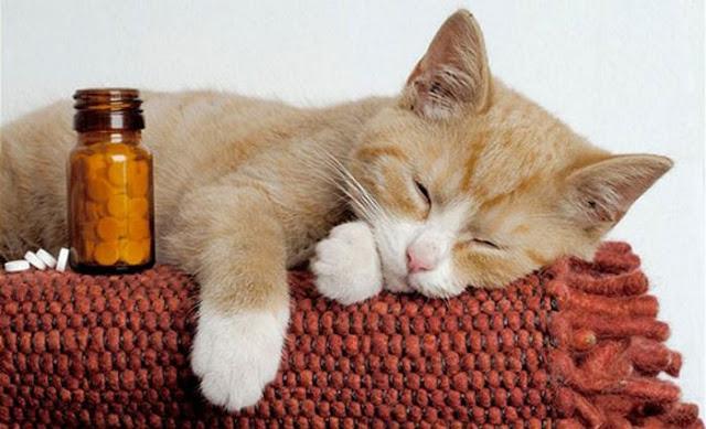 Penyebab Kucing Cacingan Dan Cara Mengobatinya - Kucing Sobo