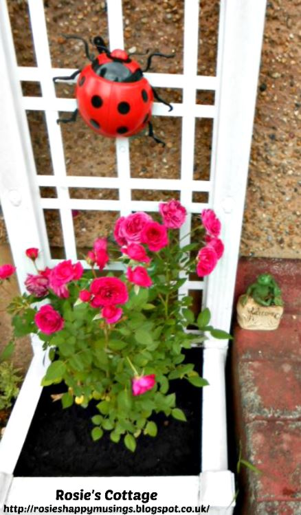 Miniature roses happy in their new home by the front door...