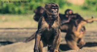 Cara Bergerak Monyet