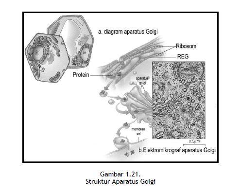 Struktur Aparatus Golgi