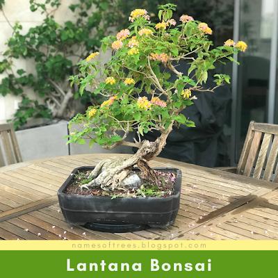 Lantana Bonsai
