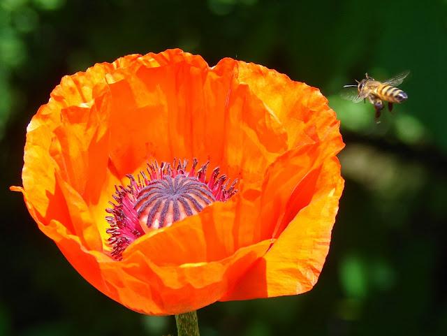 Пчела приближается к цветку