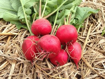 Umbi lobak merah