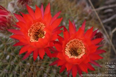 flores de Lobivia bruchii