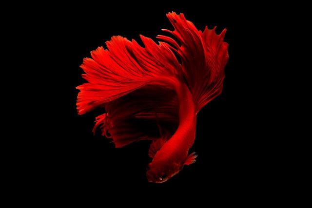 Cara Ternak Ikan Cupang Mudah