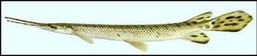 Gar longnose dan ikan aligator terbesar