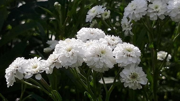 Sumpf- oder auch Bertramsgarbe, Achilea ptarmica ' White Pearl '