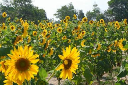 Kampoeng Reklamasi Air Jangkang, Wisata Alam Dengan Hamparan Bunga Matahari Yang Sangat Instagramble