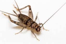 serangga jangkrik