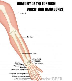 tulang di lengan atas dan bawah tangan manusia