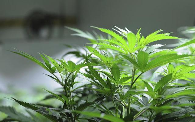 Buongiornolink - Trasforma giardino in campo di marijuana