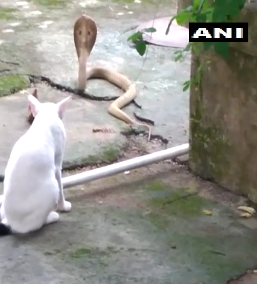 Domestic cat prevents cobra from entering a home